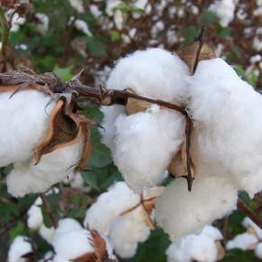 Baumwolle - ohne Zusatz uninteressant? Was bio, öko, fair und nachhaltig bedeutet